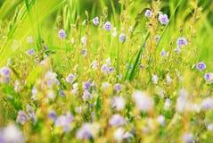 Campo dei fiori, fondo di estate Immagine Stock
