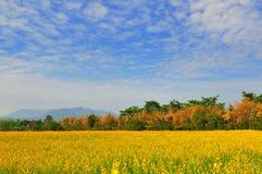 Campo dei fiori gialli Immagini Stock