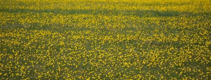 Campo dei fiori gialli Fotografie Stock Libere da Diritti