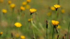 Campo dei fiori gialli che ballano nel vento video d archivio
