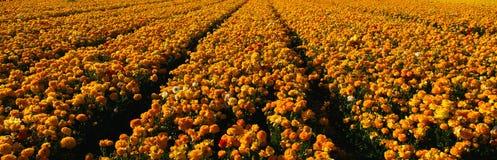 Campo dei fiori gialli del ranunculus Immagine Stock Libera da Diritti