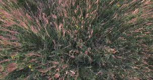 Campo dei fiori gialli Il vento che fruscia l'erba verde Fiori rosa dei fiori La vista dalla parte superiore stock footage