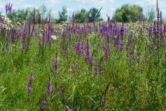 Campo dei fiori porpora nell'erba Fotografia Stock Libera da Diritti