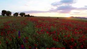 Campo dei fiori rossi del papavero stock footage