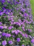 Campo dei fiori viola immagini stock libere da diritti