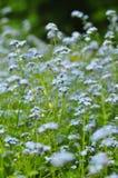 Campo dei fiori viola in erba Immagini Stock Libere da Diritti