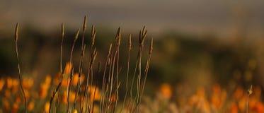 Campo dei gambi del papavero. Fotografia Stock Libera da Diritti