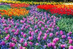 Campo dei giacinti rosa e dei tulipani rossi Immagini Stock Libere da Diritti