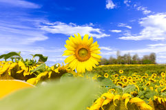 Campo dei girasoli che fioriscono e del blu del fondo del cielo con le nuvole bianche Fotografie Stock Libere da Diritti