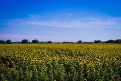 Campo dei girasoli con cielo blu Immagini Stock Libere da Diritti