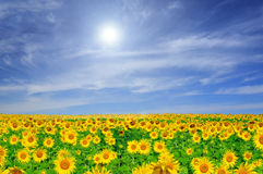 Campo dei girasoli di fioritura Fotografie Stock