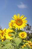 Campo dei girasoli di fioritura immagine stock