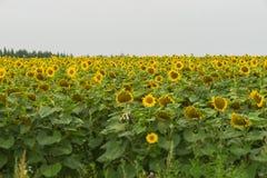 Campo dei girasoli di fioritura Fotografia Stock Libera da Diritti