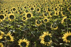 Campo dei girasoli di fioritura alla luce di primo mattino Fotografie Stock
