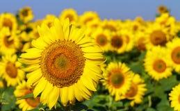 Campo dei girasoli di fioritura su un cielo blu del fondo Immagini Stock Libere da Diritti