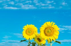 Campo dei girasoli di fioritura su un cielo blu del fondo fotografie stock