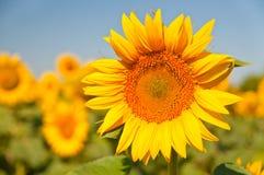 Campo dei girasoli di fioritura su un tramonto del fondo, Immagine Stock Libera da Diritti