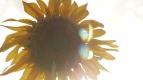 Campo dei girasoli di fioritura su un tramonto del fondo video d archivio