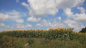 Campo dei girasoli e del cielo blu video d archivio