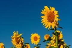 Campo dei girasoli e del cielo blu Fotografie Stock Libere da Diritti