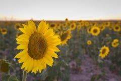 Campo dei girasoli gialli Immagini Stock