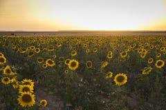 Campo dei girasoli gialli Fotografie Stock