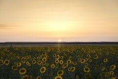 Campo dei girasoli gialli Immagine Stock Libera da Diritti