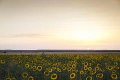 Campo dei girasoli gialli Fotografia Stock Libera da Diritti