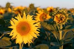Campo dei girasoli gialli Agricoltura e fiori Immagine Stock