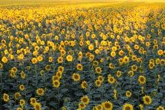 Campo dei girasoli gialli Agricoltura e fiori Immagini Stock