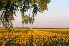 Campo dei girasoli gialli Agricoltura e fiori Fotografia Stock