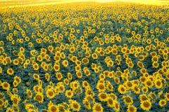 Campo dei girasoli gialli Agricoltura e fiori Fotografie Stock