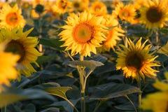 Campo dei girasoli gialli Agricoltura e fiori Fotografia Stock Libera da Diritti