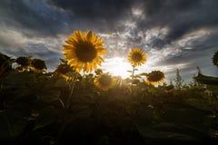 Campo dei girasoli nel giorno soleggiato caldo Fotografia Stock Libera da Diritti