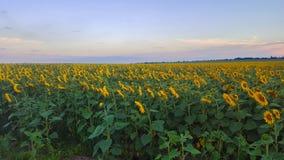 Campo dei girasoli nella sera Estensioni di terreno agricolo fotografia stock