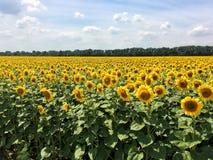 Campo dei girasoli su un cielo blu di estate del fondo Fotografie Stock