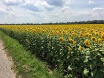 Campo dei girasoli su un cielo blu di estate del fondo Fotografie Stock Libere da Diritti