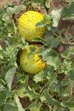 Campo dei meloni Fotografie Stock Libere da Diritti
