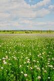 Campo dei papaveri coltivati Immagini Stock Libere da Diritti