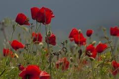 Campo dei papaveri con una certa erba fotografia stock libera da diritti