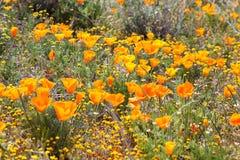 Campo dei papaveri dell'arancia selvatica Fotografia Stock