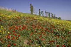 Campo dei papaveri nell'Uzbekistan Fotografia Stock