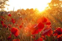 Campo dei papaveri rossi soleggiati al tramonto Fotografia Stock Libera da Diritti