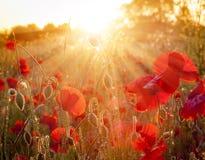 Campo dei papaveri rossi soleggiati al tramonto Fotografia Stock