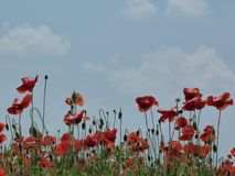 Campo dei papaveri rossi sotto cielo blu con le nuvole bianche immagini stock libere da diritti