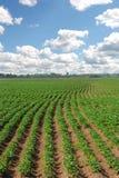 Campo dei patatoes Fotografia Stock