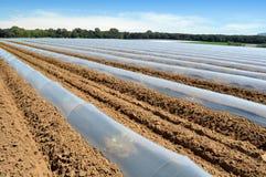 Campo dei raccolti di verdure nelle file coperte di protezione delle campane di vetro del politene Immagine Stock