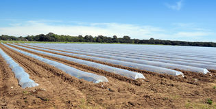 Campo dei raccolti di verdure nelle file coperte di protezione delle campane di vetro del politene Immagini Stock