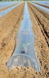 Campo dei raccolti di verdure nelle file coperte di protezione delle campane di vetro del politene Immagini Stock Libere da Diritti