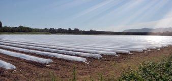 Campo dei raccolti di verdure nelle file coperte di protezione delle campane di vetro del politene Fotografia Stock